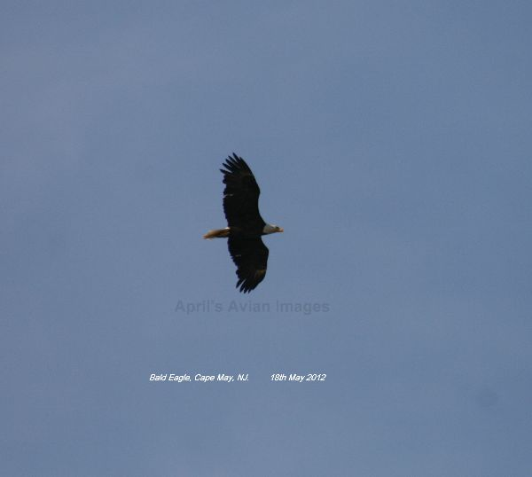 Bald Eagle, WOW, a Bald Eagle !!!!