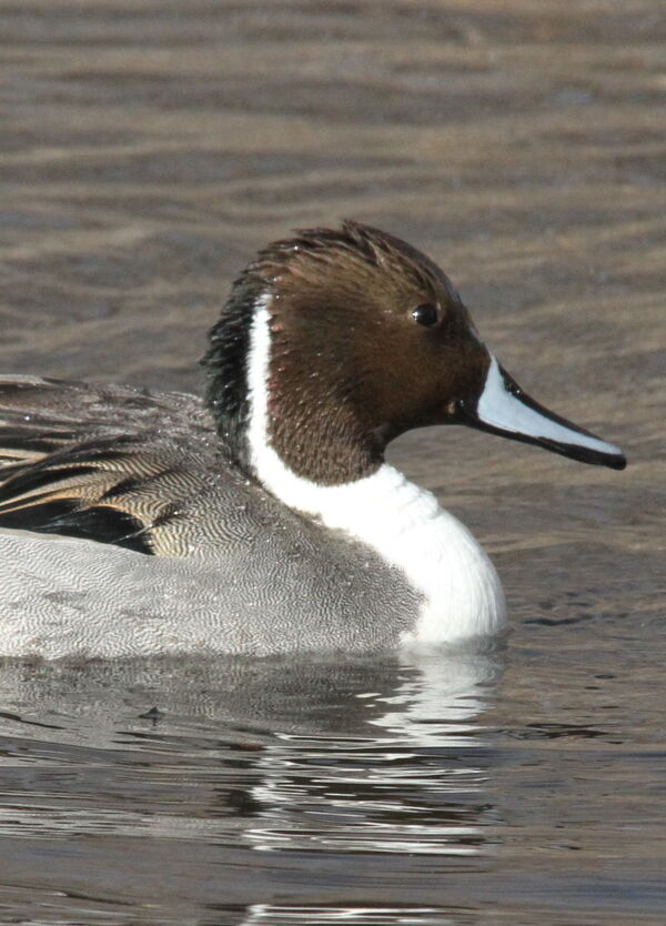 Northern Pintail, New Mexico