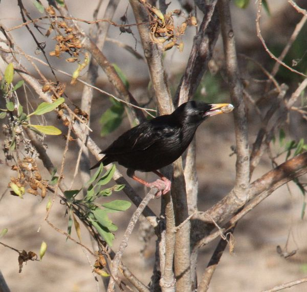 035. Spotless Starling