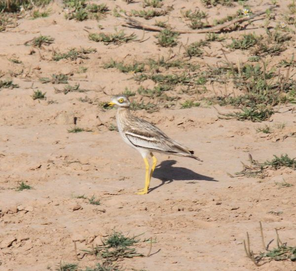 036. Stone Curlew