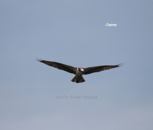 Osprey, we see Ospreys in England quite often, but these were easier to photograph