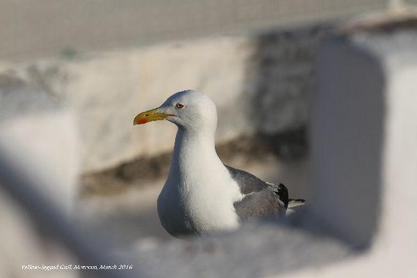 037. Yellow-legged Gull