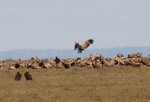 Griffon & Black Vulture Lunch