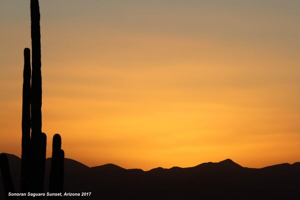 Saguaro Sonoran Sunset, Arizona