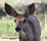 039. Mule Deer