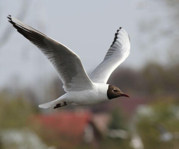 Black-headed Gull ~ Poland