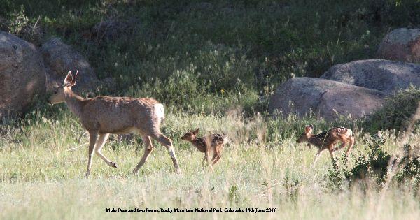040. Mule Deer & Fawns