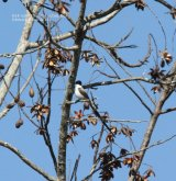 Swallow-tailed Flycatcher