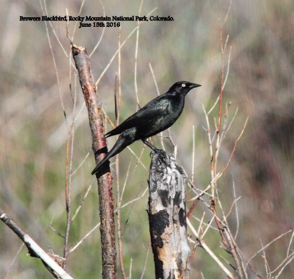 041a. Brewers Blackbird