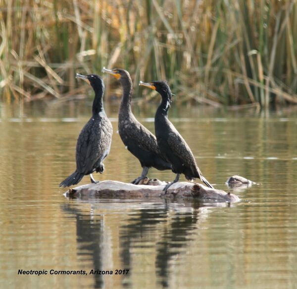 Neotropic Cormorant (European Shag), Arizona
