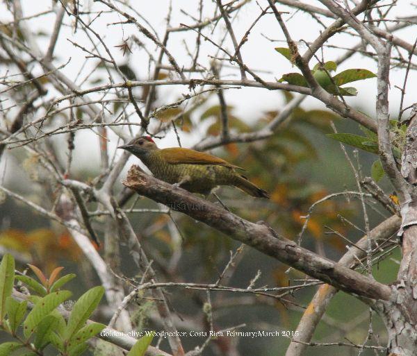 Golden-olive Woodpecker.