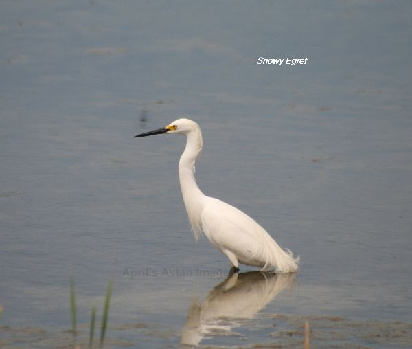 Snowy Egret, don't get these in England !!!