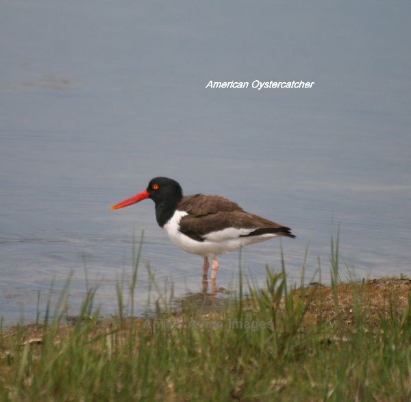 American Oystercatcher markedly different to the European Oystercatchers