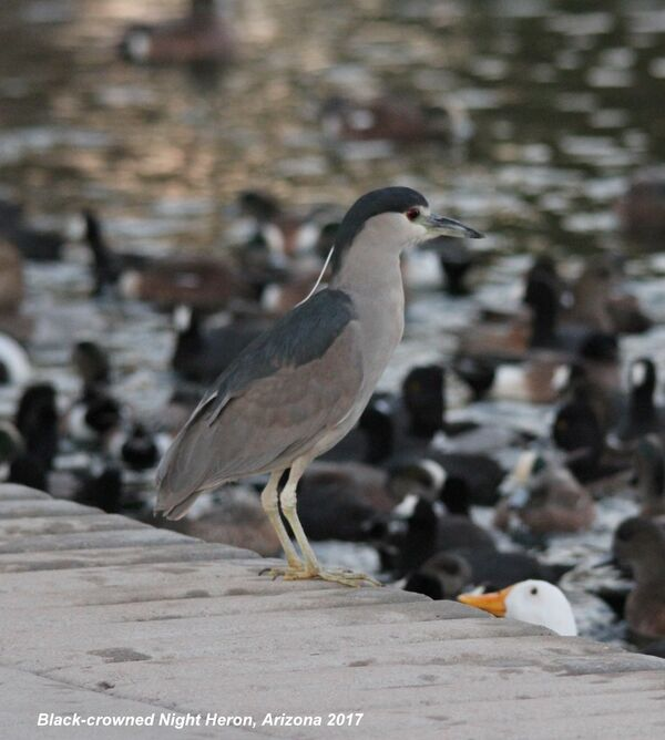 Black-crowned Night Heron, Arizona