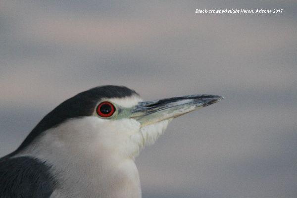 051z) Black-crowned Night Heron