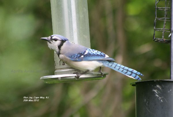 Blue Jay, the one bird I really wanted to see and photograph