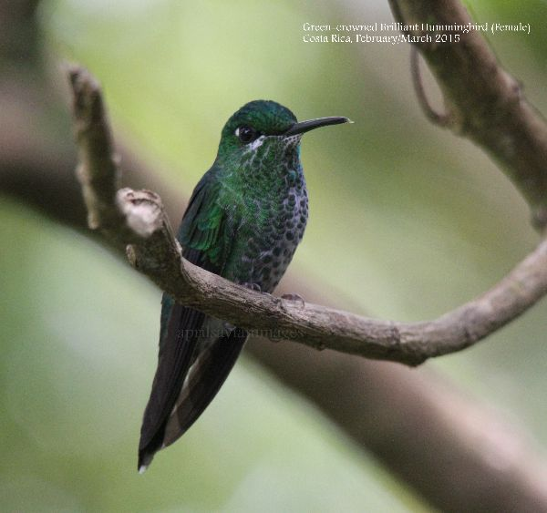Green-crowned Brilliant (Female)