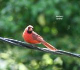 Cardinal, the colour was stunning !!