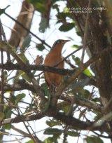Lesser-ground Cuckoo