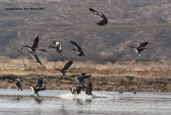 Canada Geese, New Mexico