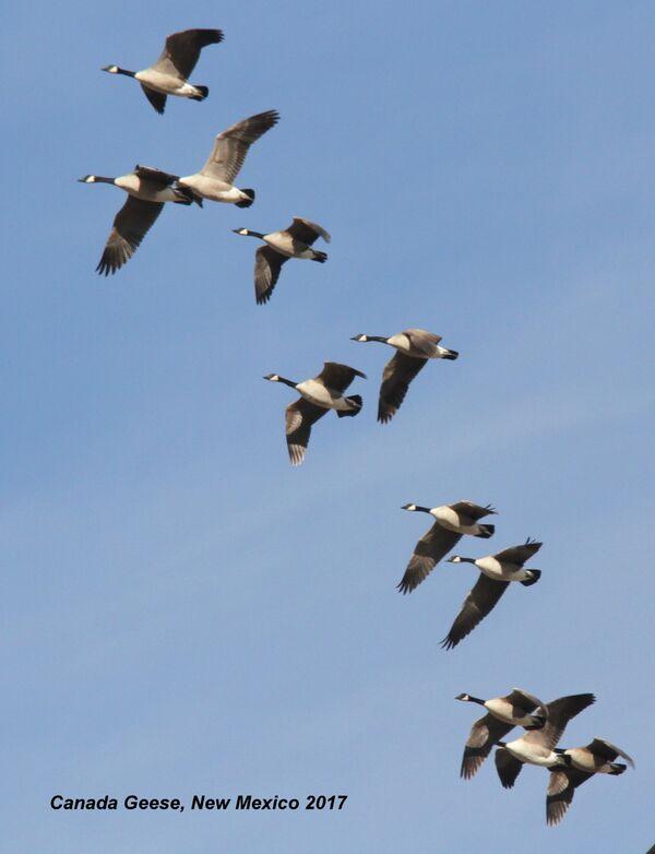 059az) Canada Geese