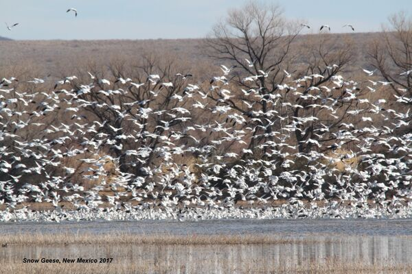Snow Geese, New Mexico