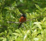 Orchard Oriole, sat in the top of a tree in the New Jersey State Park at Cape May