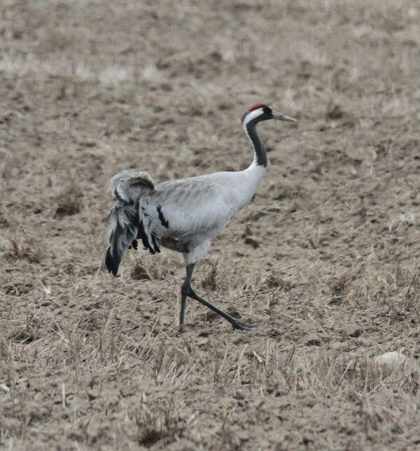 Common Crane, Poland