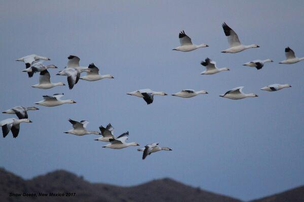 068z) Snow Geese