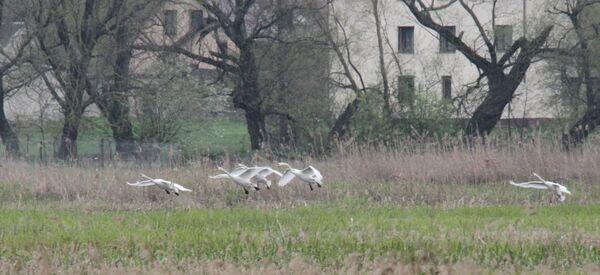 Mute Swan, Biebrza Marshes, Poland