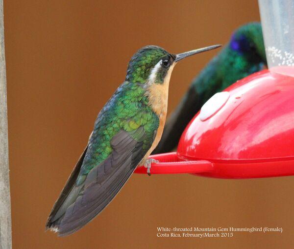 White-throated Mountain Gem Hummingbird (Female)