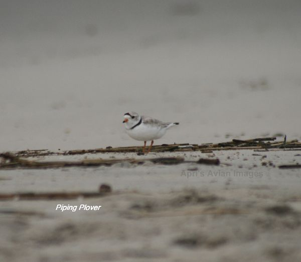 Piping Plover, we were extremely lucky to see and photograph these very endangered tiny Plovers