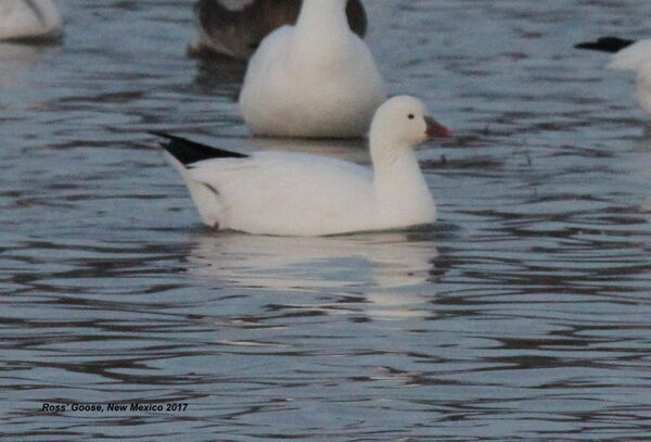 Ross' Goose, New Mexico