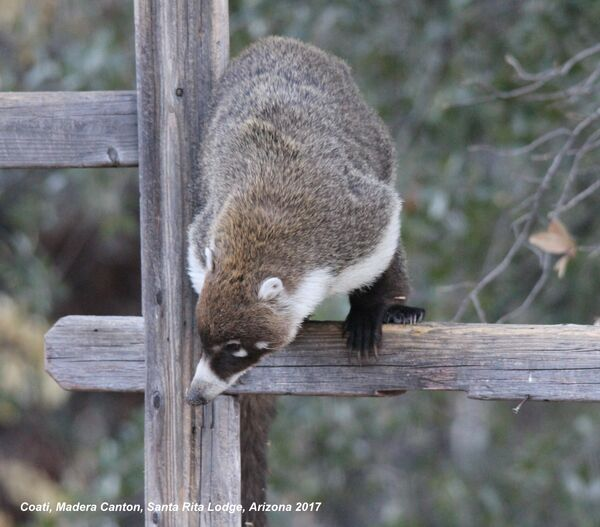 Coati, Arizona