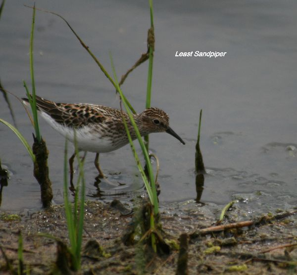 Least Sandpiper, thousands of these