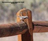 082. Black-throated Sparrow