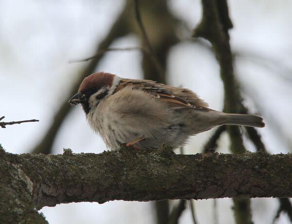 Tree Sparrow, Poland