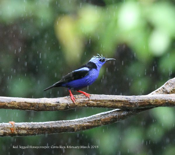 Red-legged Honeycreeper.