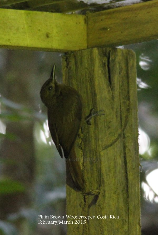 Plain Brown Woodcreeper