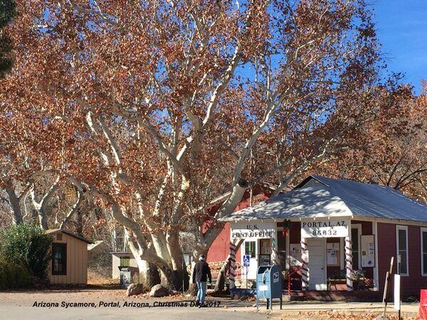 091) Portal ~ Arizona Sycamore