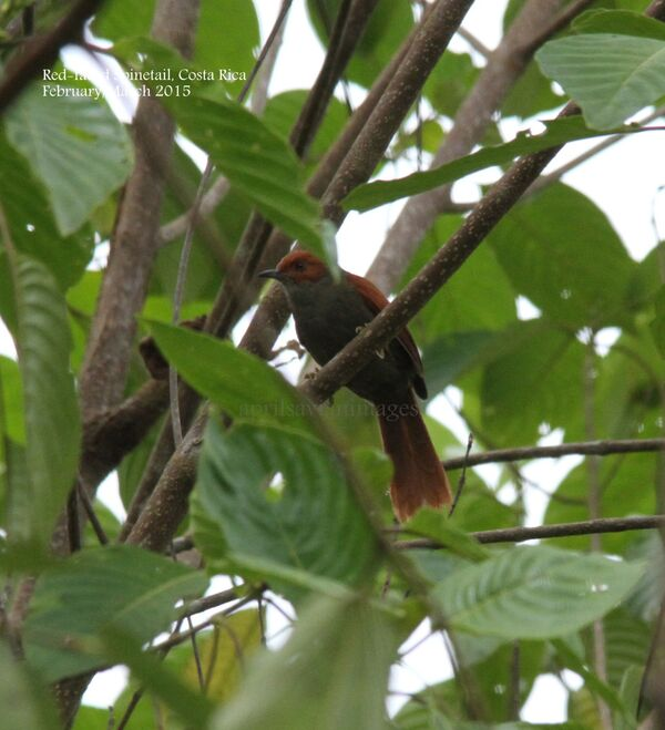 Red-faced Spinetail.