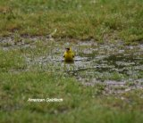 American Goldfinch, just before this photo was taken we had a heavy shower of rain and we had to run for cover, as the rain eased this Goldfinch decided to bathe