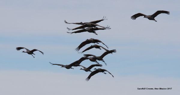 098z) Sandhill Crane