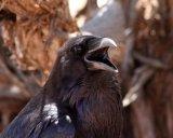 101. Raven