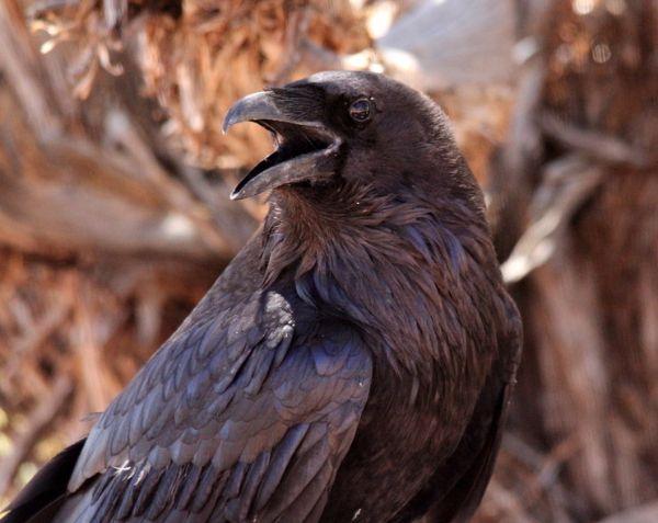 102. Raven