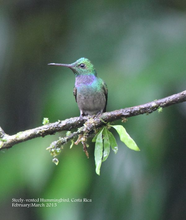 Steely-vented Hummingbird.