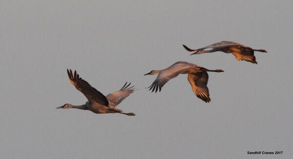 102z) Sandhill Crane