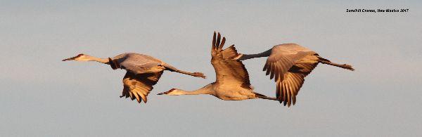 103z) Sandhill Cranes