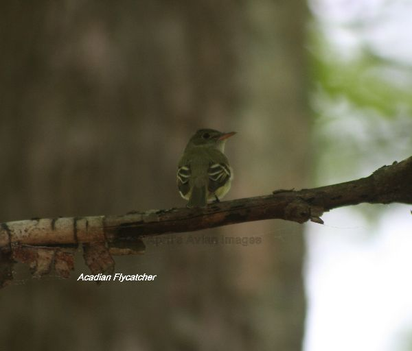 Acadian Warbler spotted in the Belleplain Forest, singing and showing very well, although in the dark shade of the forest