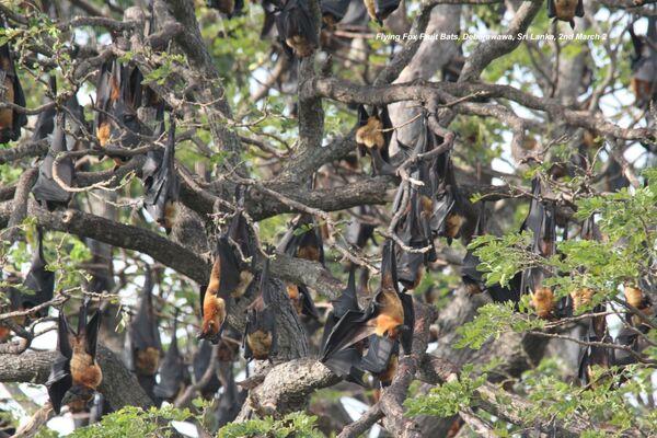 Fruit bats ~ Flying Foxes